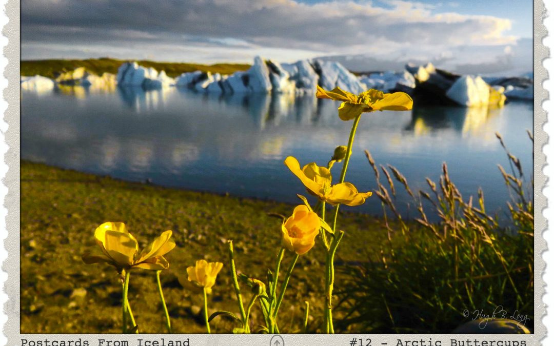 Postcards From Iceland, #12 – Arctic Buttercups